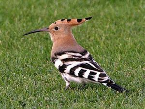 The hoopoe bird