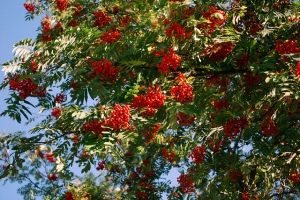 Photo: Rowan tree. Image by Dave_S (CC, Flickr).