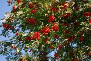 Photo: Rowan tree. Image by Dave_S (CC, Flickr).